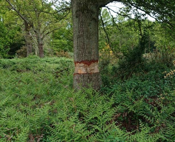 Tree girdling
